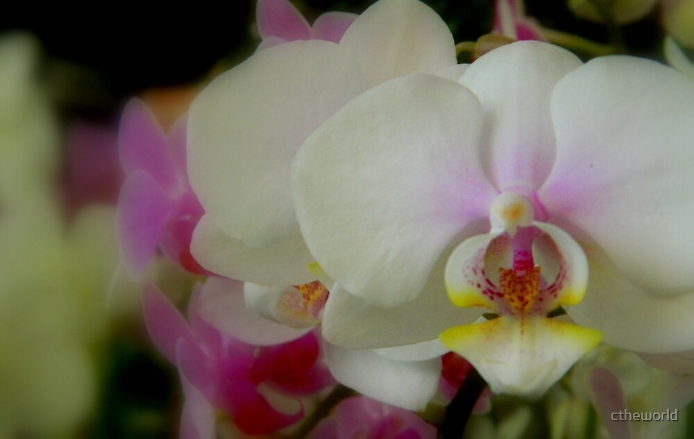 Orchid-Mania 1 by ctheworld