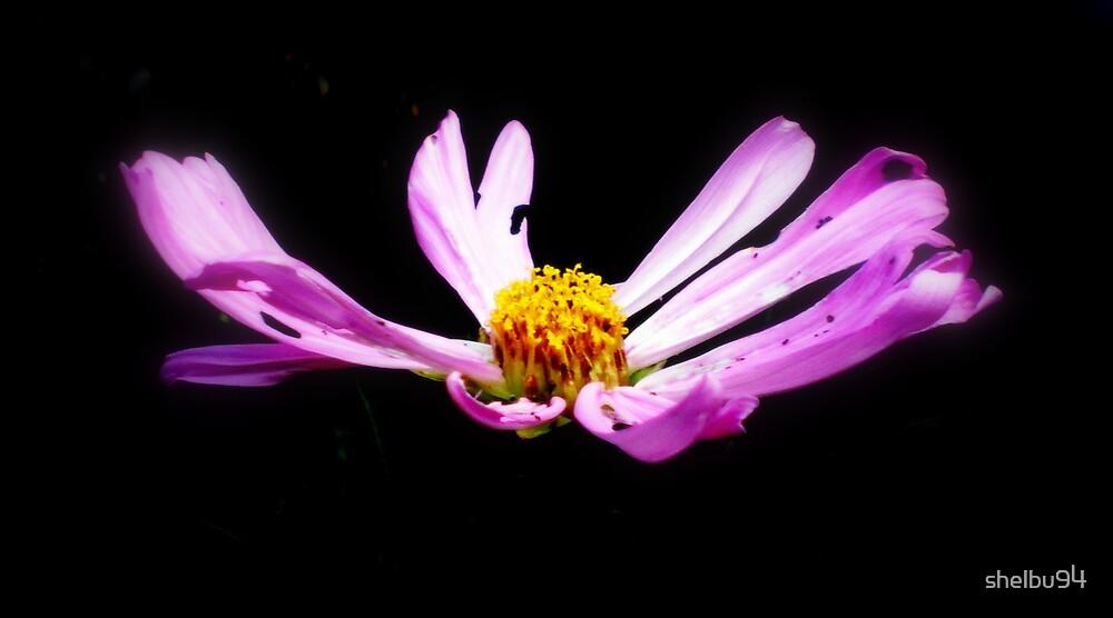 Purple Cosmos by shelbu94
