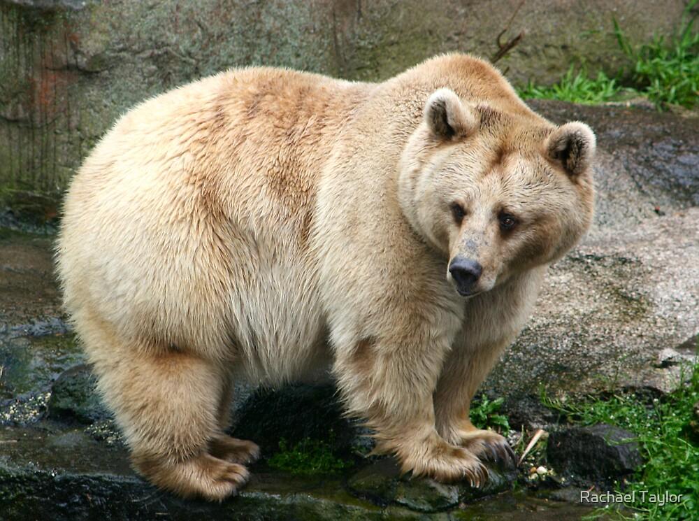 Teddy Bear by Rachael Taylor