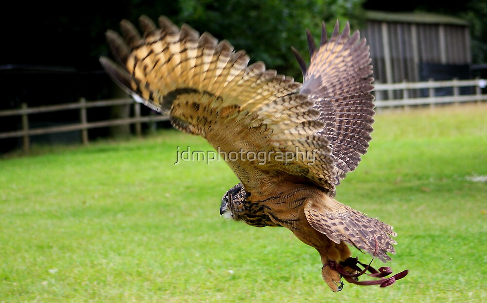 Eurasian Eagle Owl In Flight             (Same Bird Different Angle) by jdmphotography