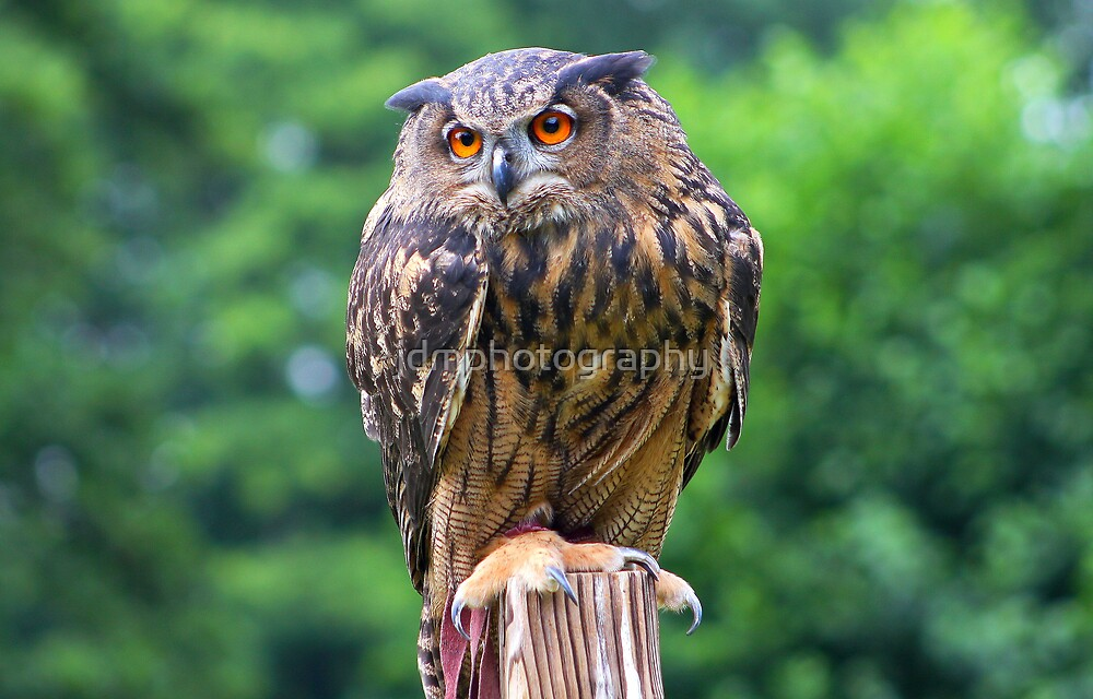 Eurasian Eagle Owl by jdmphotography