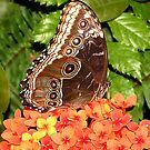 Butterfly on orange flower, 420 viewings 2 comments by dragonsnare