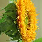 Sunflower by Alberto  DeJesus