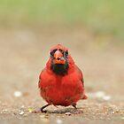 Cardinal Bird - Wildlife Backgrounds from USA - Missouri Icon by LivingWild