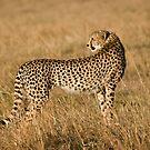 Cheetah in Masai Mara by digitaldawn