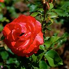 A rose that means lover by Jim Caldwell