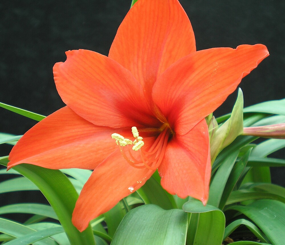 Orange Lilly by Herb Dickinson