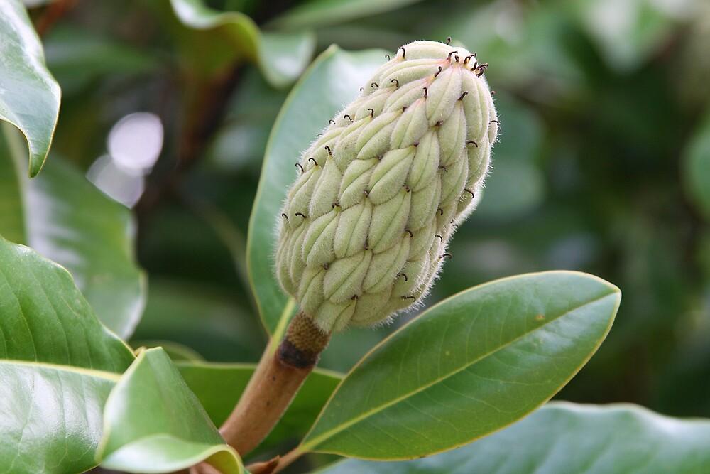 Magnolia grandiflora by Patricia Montgomery