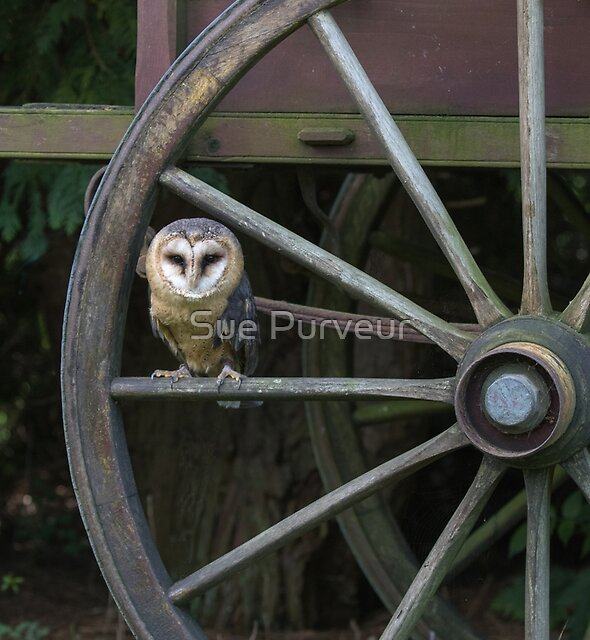 Barn owl doing cartwheels by Sue Purveur