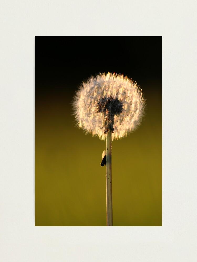 Alternate view of Dandelion Sunset Photographic Print