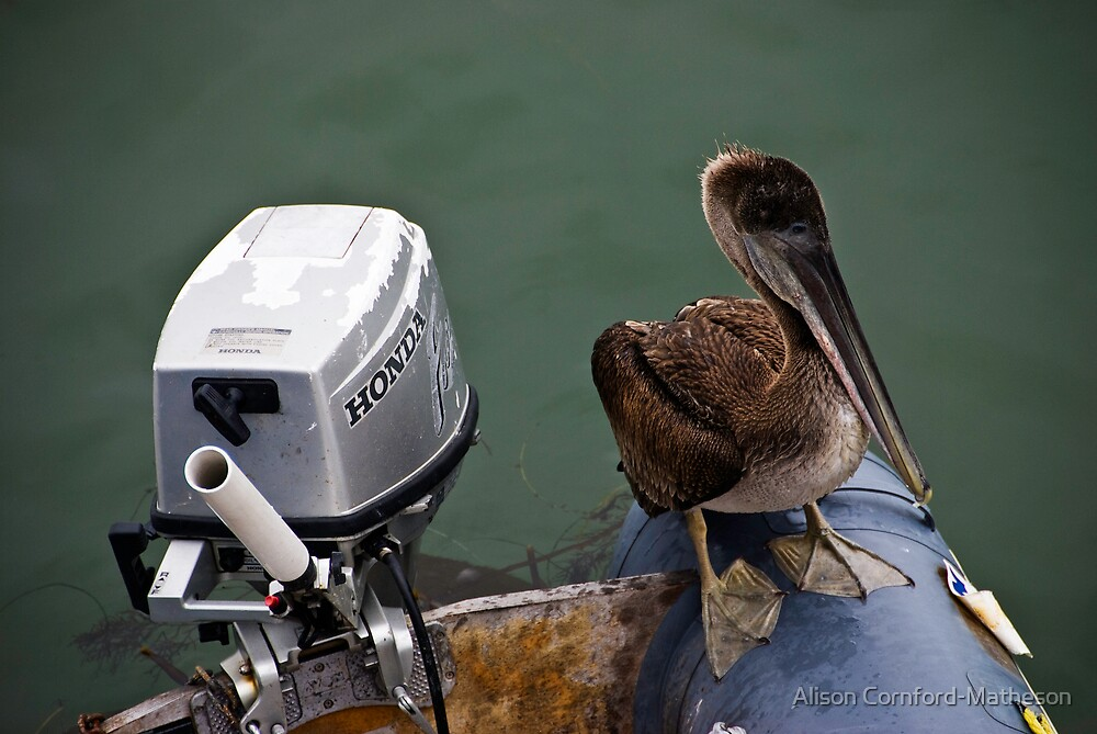 Captain Pelican by Alison Cornford-Matheson