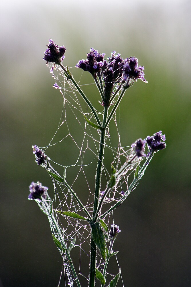 Morning Lace by Trevor Farrell