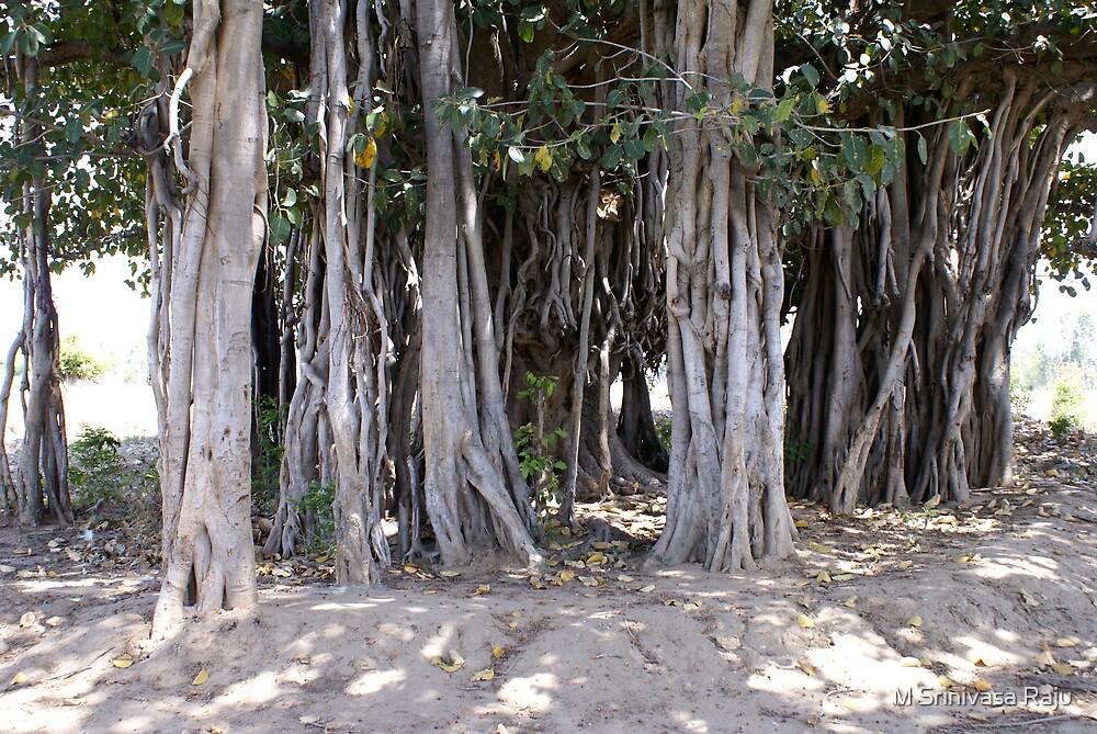 100 Years old banyan Tree by M Srinivasa Raju