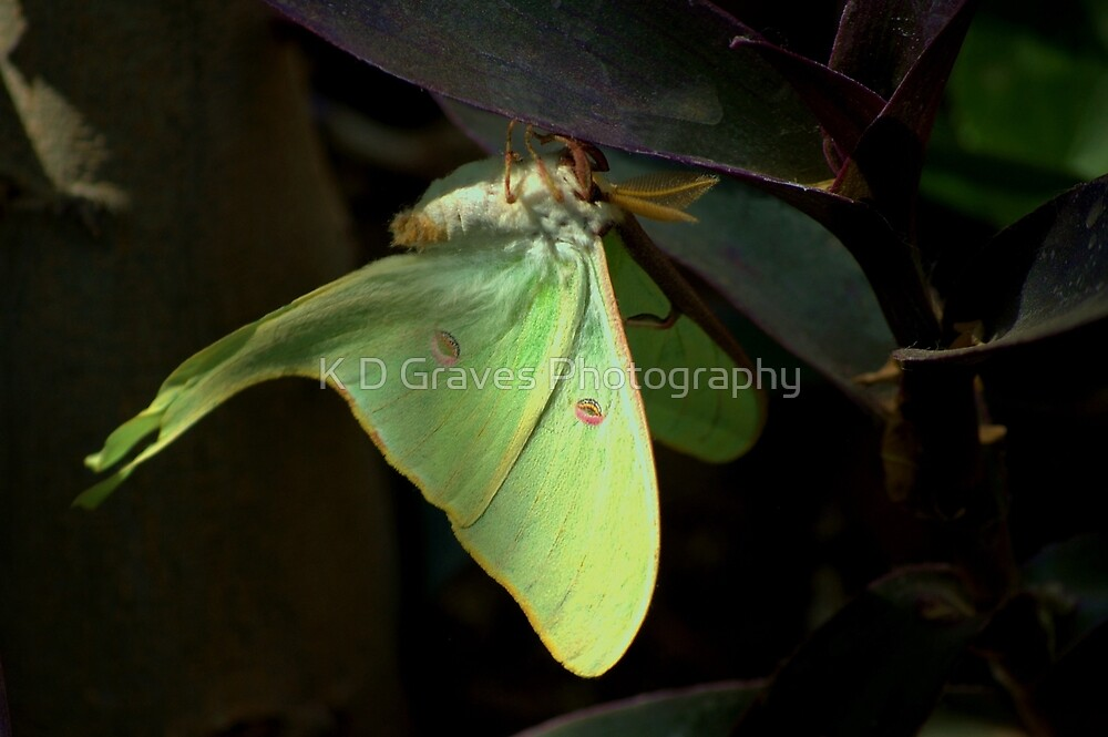 """"""" The Lunar Moth """" by K D Graves Photography"""