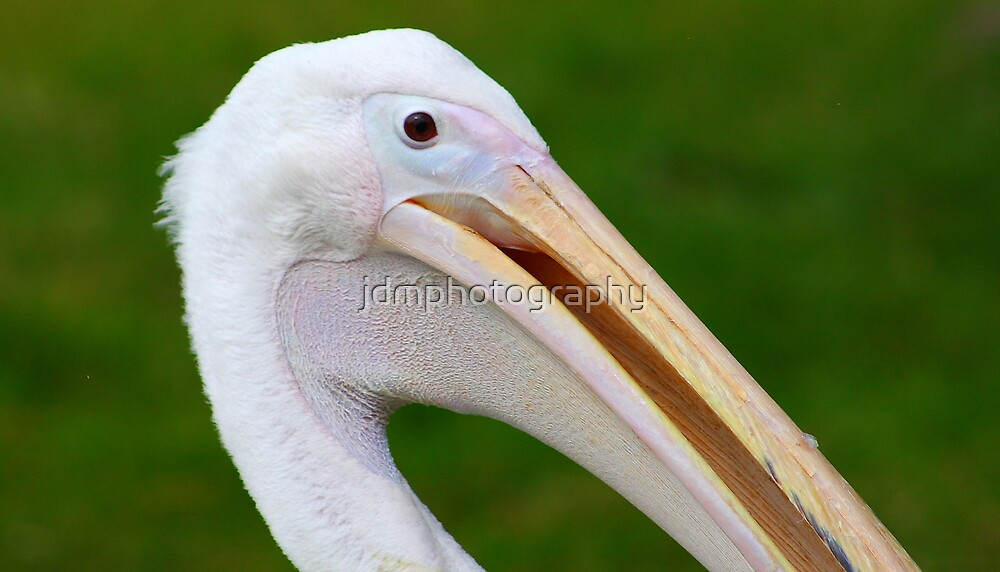 Pelican Portrait by jdmphotography