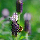 Lavender Bee by Bev Woodman