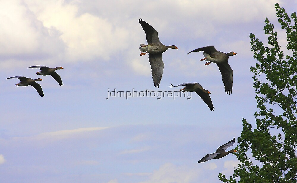 Greylag Geese in flight by jdmphotography