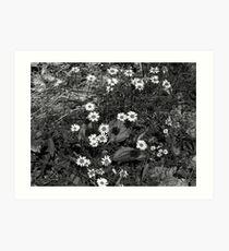 Daisies in Black & White Art Print
