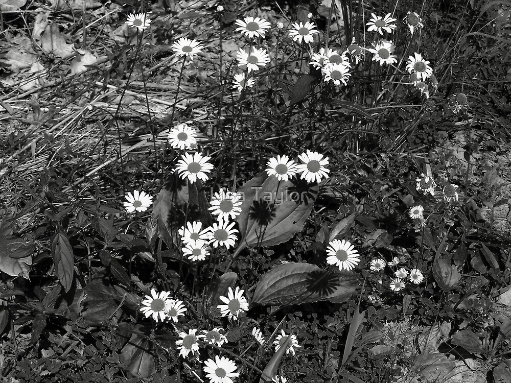 Daisies in Black & White by Lisa Taylor