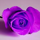 Lilac Rose by Terry Mooney