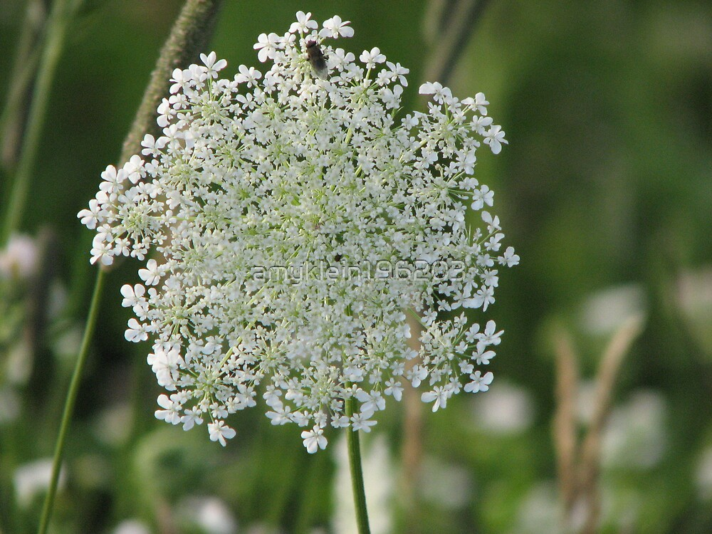 Queen Anne's Lace by amyklein196203