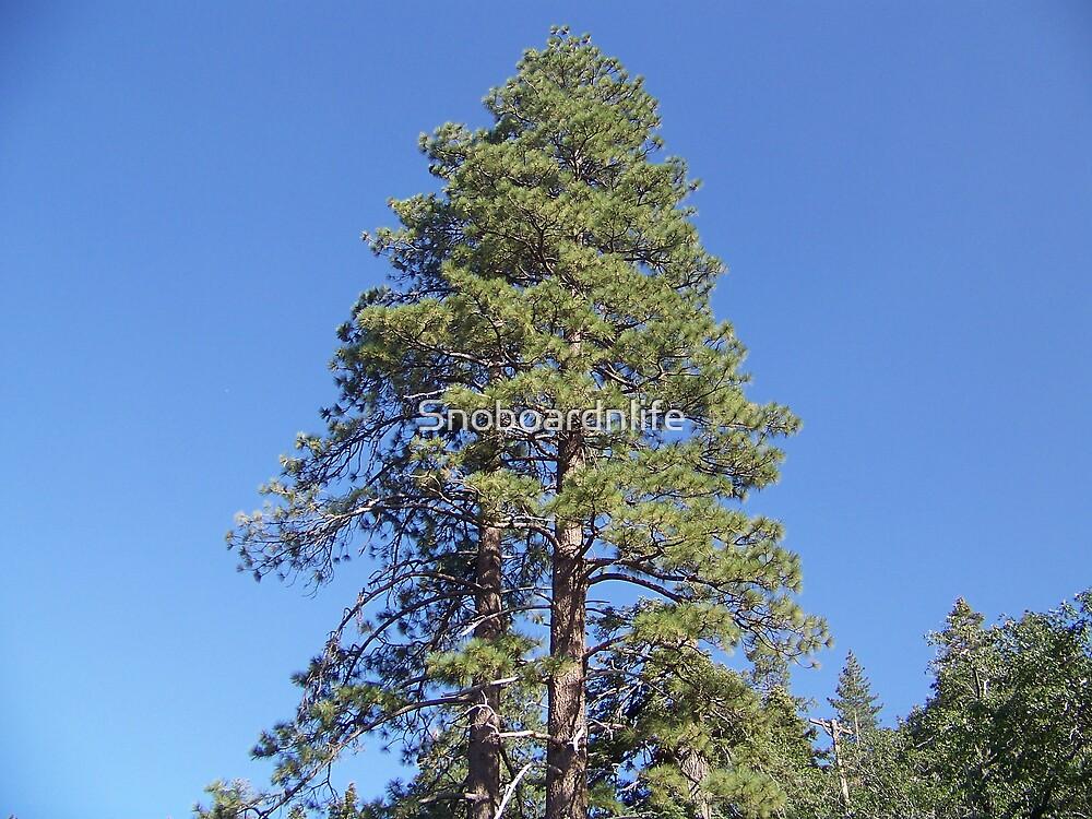 Huge Pine Tree by Snoboardnlife