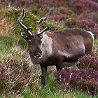 Cairngorm Reindeer by Jamie  Green