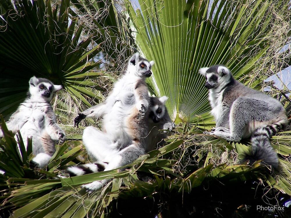Lemurs by PhotoFox