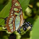Brown, green butterfly by Tony Blakie