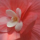 Begonia in Soft Shades of Red by Marilyn Harris
