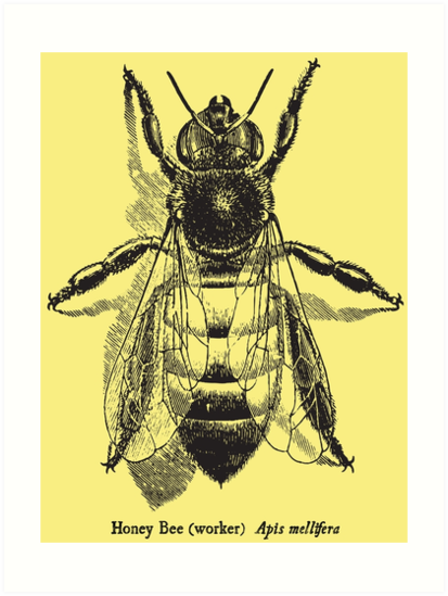Honey Bee Vintage Scientific Illustration Art Prints By Coalfrog