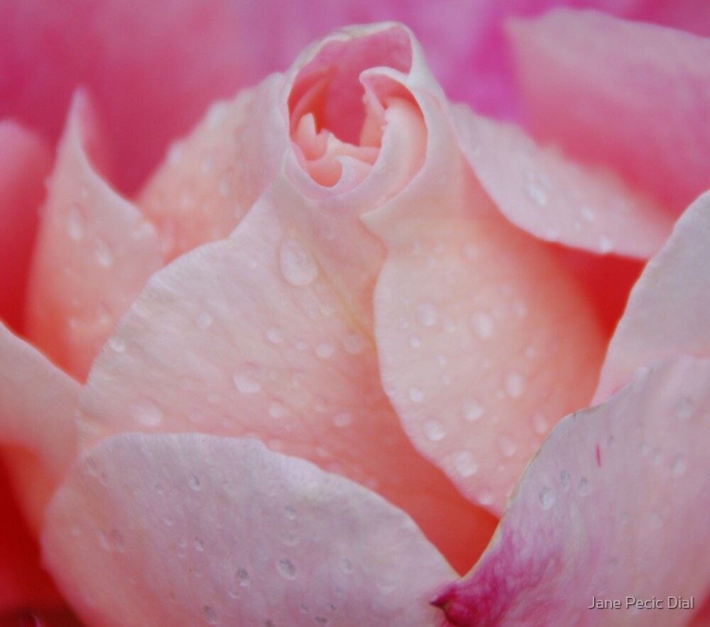 Pink Rose by Jane Pecic Dial