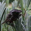 Cicada 2 by Lolabud