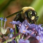 Male Carpenter Bee (Xylocopa virginica) by Otto Danby II