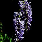 Wisteria by Alison Howson