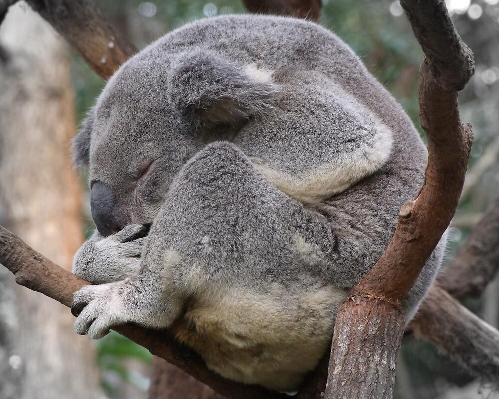Koala Sleeping by Trevor Farrell