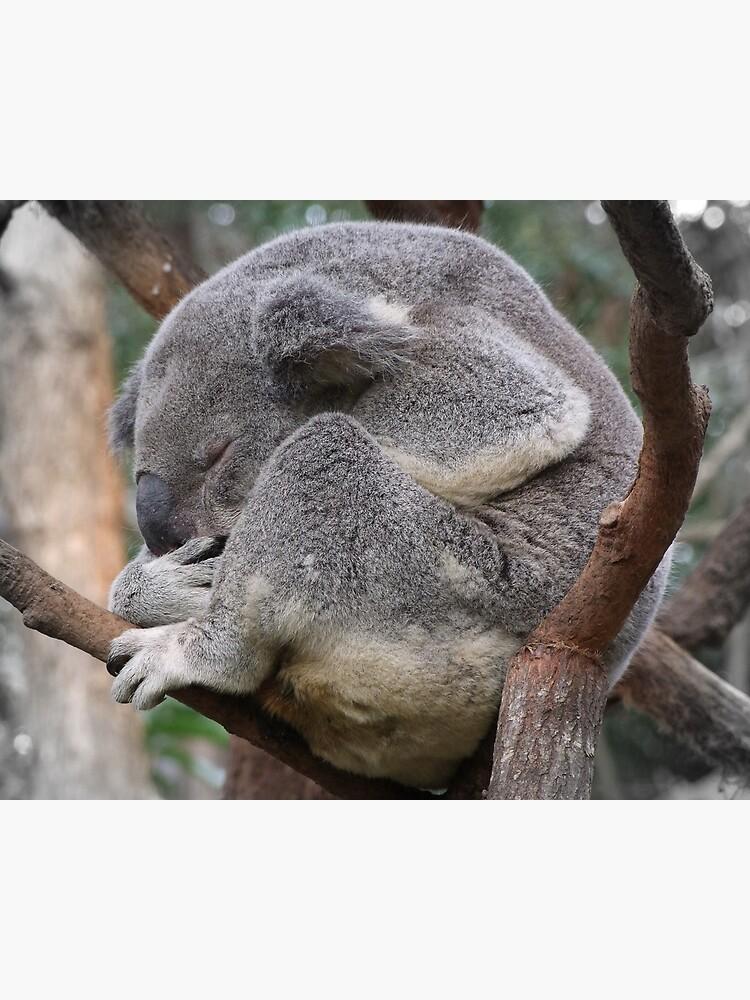 Koala Sleeping by theoddshot