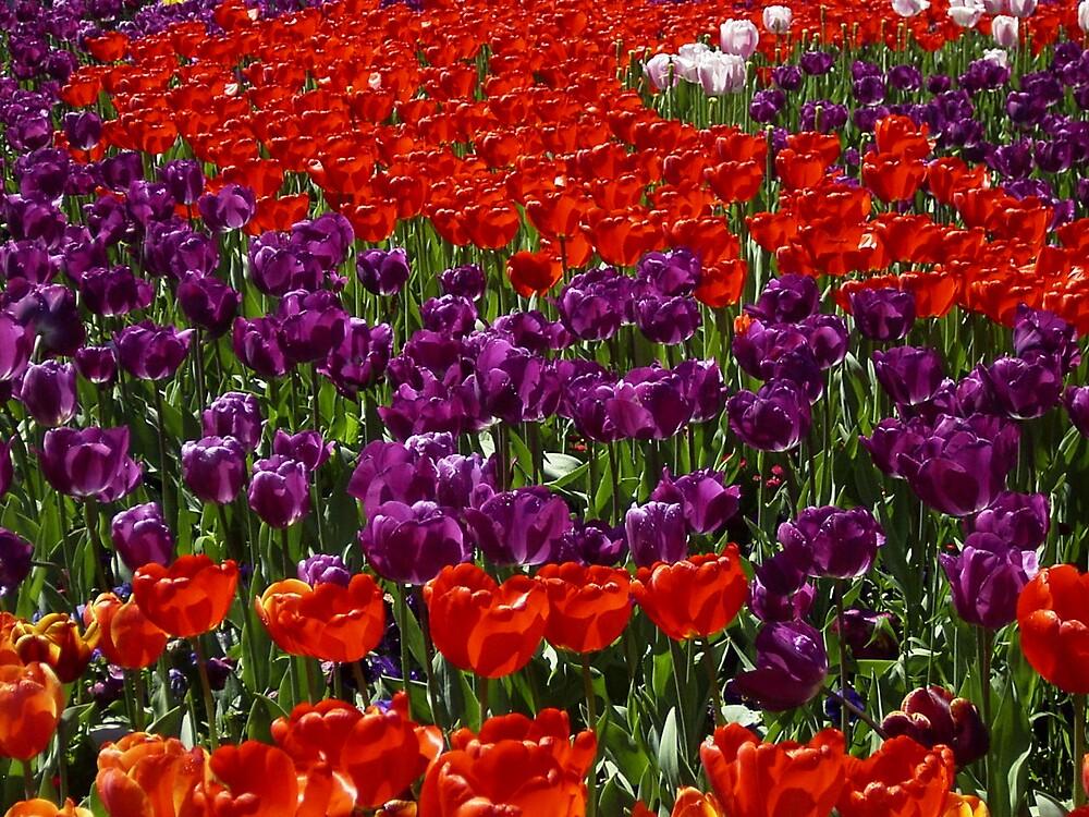 Tulips by Robert Jenner