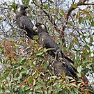 Trio of Black Cockatoos with White Tails by Coralie Plozza