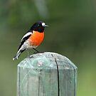 Scarlet Robin Busselton, Western Australia by Coralie Plozza