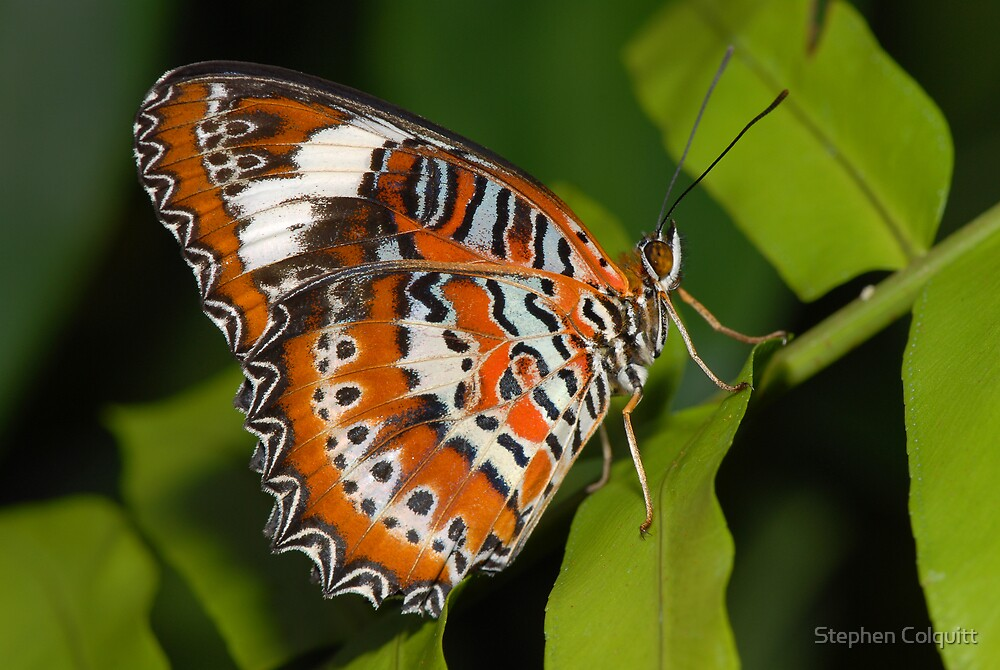 Butterfly by Stephen Colquitt