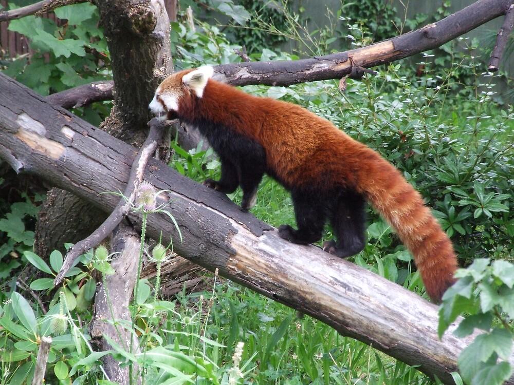 Red Panda by Scott Hagan