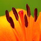 Stamen of the Lily by Trevor Kersley