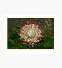King Protea (Protea cynaroides) Art Print