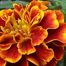 Marigold by karenkirkham