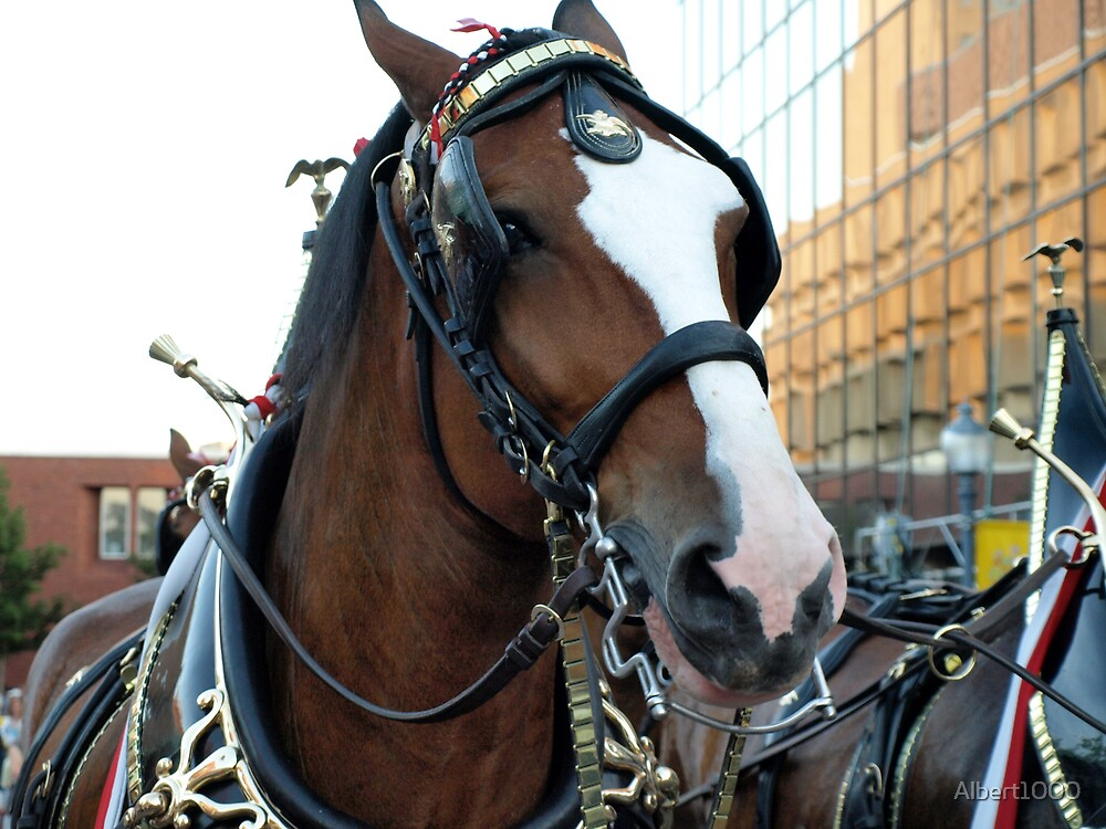 A Clydesdale horse by Albert1000