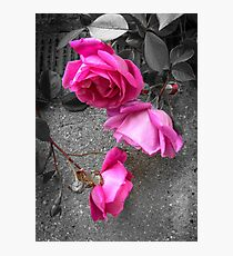 Memory of summer - roses Photographic Print