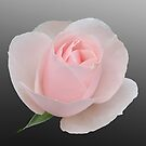 My Perfect Rose by John Thurgood