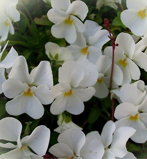 White pansies by Ana Belaj