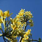 Golden Frangapani on Blue Sky by Keith Richardson